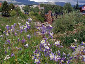 colorado-mountain-flowers-806296-m