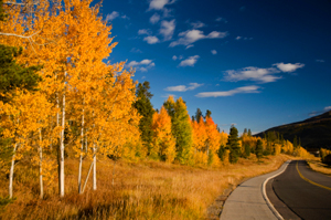 Aspen and Pine in the Fall