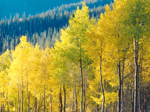 yellow-aspens 2